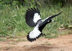 4353x3109 px magpie image - Full HD Wallpapers, Photos by Windell Grant