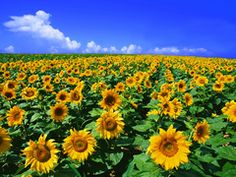 sunflower,Andalusia