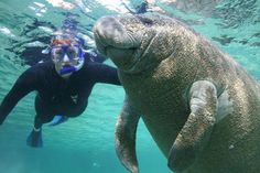 Swim with manatees - also known as sea cows - in Crystal River, Florida.