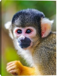Squirrel monkey photo print by Picture by Tambako the Jaguar at Photos.com