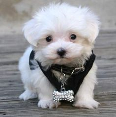 10 Wonderful maltese teacup puppies picture collection