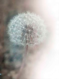 Dreamy Photo Shabby Chic Home Decor Dandelion by DovieMoon on