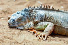 Qdiz Stock Photos | Iguana or lizard on yellow sand,  #animal #close-up #closeup #color #desert #dinosaur #exotic #eye #face #fauna #guana #head #iguana #lacertian #life #lizard #mammal #nature #predator #reptile #sand #wild #wildlife #yellow