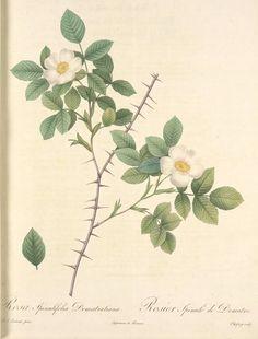 Antique rose engraving by Pierre Joseph Redouté, 1759-1840. Rosa Spinulifolia Dematratiana; Rosier des Alpes — hybride spontane. Alternate Title : Rosa glabrata Desegl. (syn.);Rosa x spinulifolia Dematra.