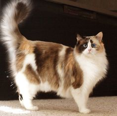 An amazing Seal Tortie Bicolor Ragdoll Cat.