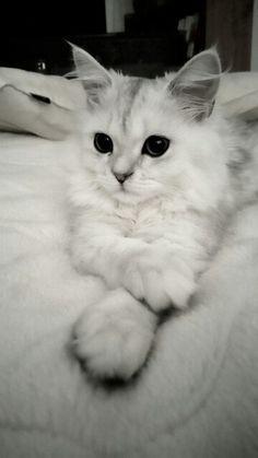 My beautiful little lion. #cat #persian #chinchillasilver