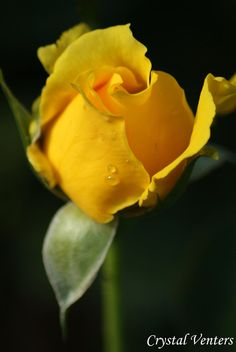 Yellow Rose Bud Reminds me of my mama she loved roses. She grew some of the prettiest ones ever.