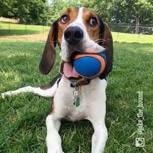 jake the treeing walker coonhound. Plott Hound, Hound Dog, Cute Funny Animals, Cute Dogs, Walker Hound, Treeing Walker Coonhound, Cutest Dog Ever, The Fox And The Hound, Beagle Dog