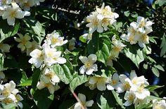 Für dich soll's weiße Blüten regnen...