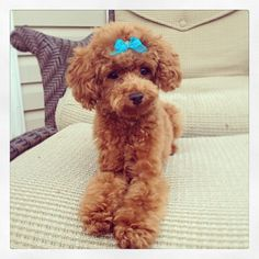 Toy Poodle                                                                                                                                                                                 More