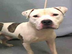 PULLED BY FURBRIDGE - 12/16/15 - TO BE DESTROYED - 12/13/15 - WOOSH - #A1059904 - Urgent Manhattan - MALE WHITE/BROWN PIT BULL MIX, 2 Yrs - STRAY, NO HOLD Intake 12/07/15 Due Out 12/10/15 - VERY NERVOUS, TENSE, RESISTED HANDLING