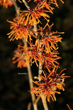 Hamamelis intermedia 'Aphrodite' - third witch hazel - see if there's a spot for it along the border or in front bed
