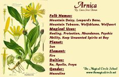 Arnica Magical Properties - The Magical Circle School - www.themagicalcircle.net
