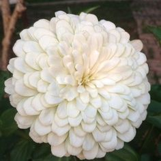 Zinnia..<3 white flowers..need to find these seeds for my garden next year