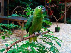 Amazona harinosa norteña (Amazona guatemalae)