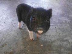 Hi my name is Pepe Micro Piglets, Animals, Animales, Animaux, Animal, Animais