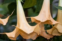 ALL ABOUT BRUGMANSIA - THE ANGEL'S TRUMPETS - http://www.gardenpicsandtips.com/all-about-brugmansia-the-angels-trumpets/