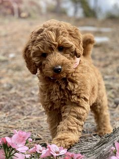 Beautiful little girl 9 weeks old Australian labradoodle puppy! Chien Goldendoodle, Mini Labradoodle Puppy, Goldendoodle Breeders, Cavapoo, Super Cute Puppies, Cute Dogs And Puppies, Baby Dogs, Doggies, Dogs