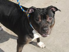 Brooklyn Center  GALA - A0993363  FEMALE, BLACK / WHITE, STAFFORDSHIRE MIX, 4 yrs STRAY - ONHOLDHERE, HOLD FOR OWNER DIED Reason OWNER DIED Intake condition NONE Intake Date 03/07/2014, From NY 11211, DueOut Date 03/15/2014, https://www.facebook.com/photo.php?fbid=770139202998961&set=a.617941078218775.1073741869.152876678058553&type=3&theater