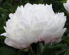 White Frost - Midseason Hybrid, white, double, fragrant, a lovely rose-type double that is very fragrant, buds streaked with red, heavy amounts of blooms, it is held upright on strong stems, first bloomed 1979, (Reath, USA, 1991). www.peonyshop.com