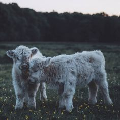 Dreamlike Animals Portrait Photography by Remo Jacobs - A. - Dreamlike Animals Portrait Photography by Remo Jacobs Dreamlike Animals Portrait Photography by Remo Jacobs - Cute Baby Cow, Baby Cows, Cute Cows, Baby Elephants, Fluffy Cows, Fluffy Animals, Cute Little Animals, Cute Funny Animals, Baby Highland Cow