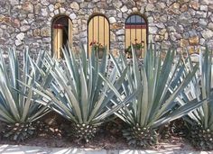 Blue Agave plants used in the garden of a home in Ajijic, Mexico.