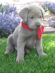 Silver Lab Puppy from Cimarron Silver Labs - If I got a lab, it would be silver. So pretty!