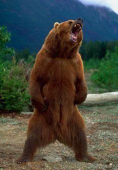 Big Animals, Rare Animals, Animals Of The World, Funny Animals, Forest Animals, Wild Animals Attack, Animal Attack, Berlin Zoo, Alaskan Brown Bear