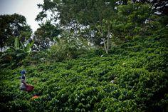 Coffee Harvesting Season at Hacienda Sonora