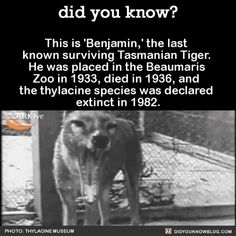 This is 'Benjamin,' the last known surviving Tasmanian Tiger. He was placed in the Beaumaris Zoo in died in and the thylacine species was declared extinct in (They're also known as. Animal Facts, Animal Memes, Funny Animals, Cute Animals, Wild Animals, Creepy Facts, Wtf Fun Facts, Funny Facts, Tasmanian Tiger