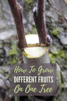 "How To Grow Different Fruits on One Tree - This is known as ""grafting"". Imagine having one tree with 2, 3 or 4 different fruits growing from it! This is great for people with smaller gardens who want to have all the same fruit as people with larger gardens. Image by http://smallkitchengarden.net"