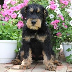 German Hunt Terrier puppies for sale! The German Hunt Terrier is a highly intelligent, people-friendly dog breed that is full of energy. Terrier Breeds, Terrier Puppies, Terriers, Friendly Dog Breeds, Puppy Find, Greenfield Puppies, Doberman, Puppies For Sale, Four Legged