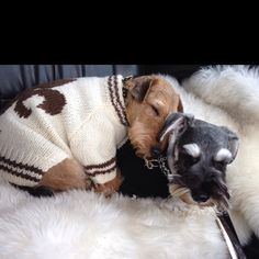 Welsh terrier and Schnauzer pal… so cute!