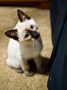 #siamese. I want one.  They are little fur balls of energy at this age.