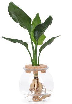 Strelitzia Nicolai in glas Glass Vase, Survival, Plants, Water, Home Decor, Google, Products, Hydroponics, Exotic