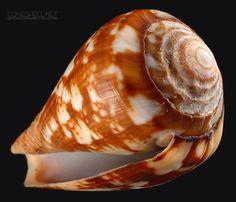 Conus xicoi