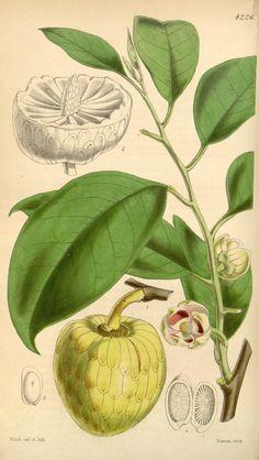 v.72=ser.3:v.2 (1846) [no.4203-4274] - Curtis's botanical magazine. - Biodiversity Heritage Library