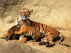 Royal Bengal Tiger with her cubs in Nepal.