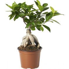 Bonsaifikus til hylla Ficus Ginseng, Ficus Microcarpa, Bonsai, Houseplants, Greenery, Balcony, Lily, Alternative, Indoor House Plants