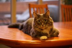 My Moms No Cats On The Table Rule Doesnt Get Enforced When Youre This Cute - http://cutecatshq.com/cats/my-moms-no-cats-on-the-table-rule-doesnt-get-enforced-when-youre-this-cute/