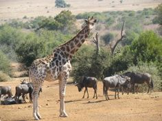 Giraffe and wildebeest are usually found together. they use each others strengths to deter any predators Game Reserve, Predator, Day Trips, Perfect Place, South Africa, Giraffe, Wildlife, African, Animals