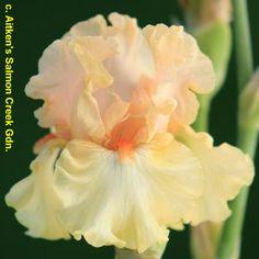 BB Iris Bundle Of Love