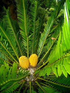 Photos of South African Plants - Category: Encephalartos - Image: Encephalartos msinganus African Plants, Tropical Plants, Pine Cones, Botany, South Africa, Plant Leaves, Seeds, Photographs, Coast