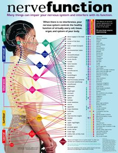 This chart shows how specific nerves send messages from the brain to specific areas in the body, thus controlling the functions of organs, circulation, and much more.