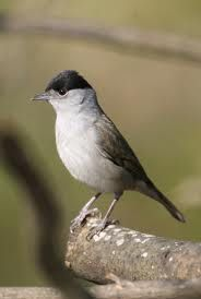 The Eurasian Blackcap (Sylvia atricapilla) usually known simply as the Blackcap, is a common and widespread typical warbler.  The Blackcap breeds in much of Europe, western Asia and northwestern Africa, and its preferred habitat is mature deciduous woodland.