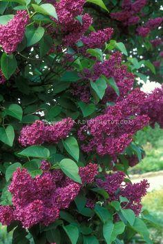 Lilac Syringa vulgaris Marochal Foch deep purple red flowering shrub in May