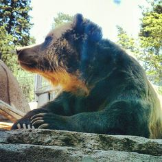 Grizzly Bear - Cheyenne Mountain Zoo Colorado Springs