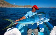 Powder-blue dorado caught near La Paz; photo by Dave Maynard. Dorado, or mahi-mahi, are generally a brilliant greenish-gold when swimming after bait or fighting on the hook.