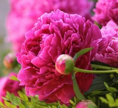 Corporate Flowers, Textiles, Peonies Bouquet, My Favorite Things, Plants, Textile Art, Syrup, Flowers, Plant
