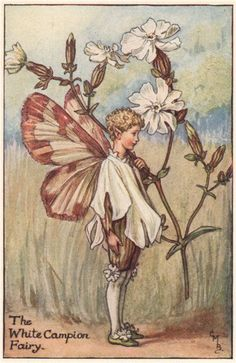 FLOWER FAIRIES/BOTANICALS: The White Campion Fairy; This is an original vintage Cicely Mary Barker Flower fairies colour print. It is not a modern reproduction, c1935; approximate size 11.0 x 7.0cm, 4.25 x 2.75 inches